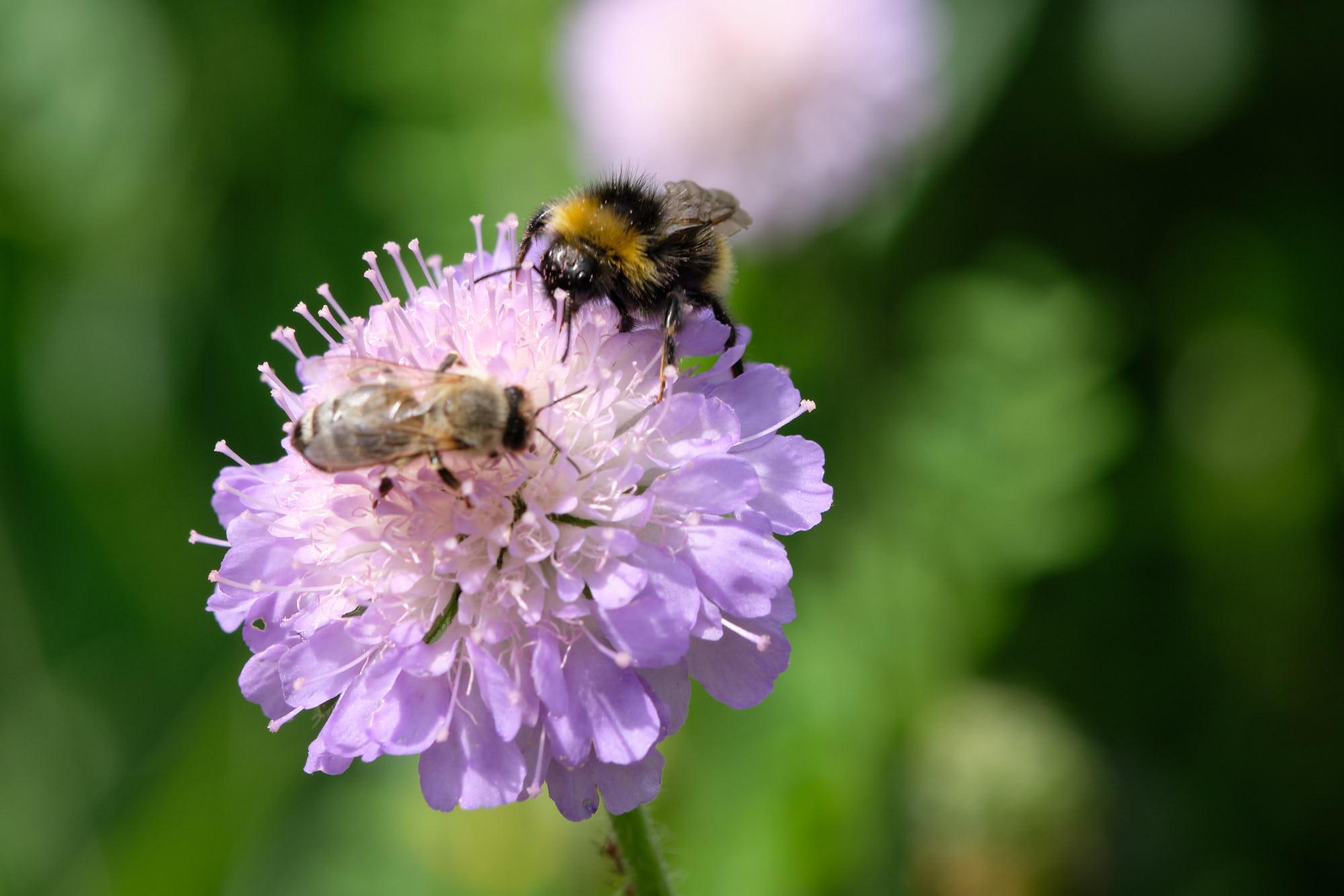 Biene und Hummel