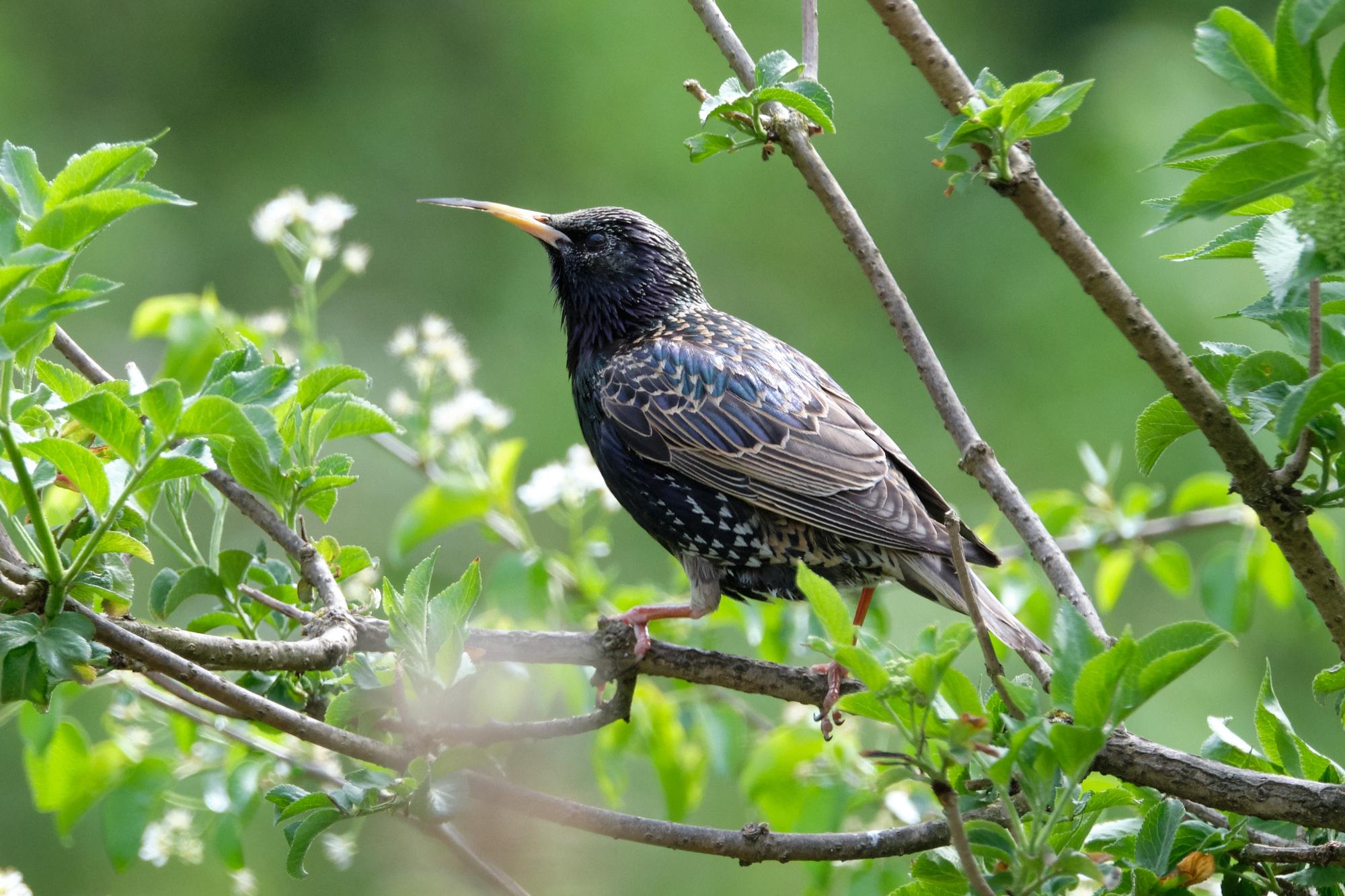 Star / starling