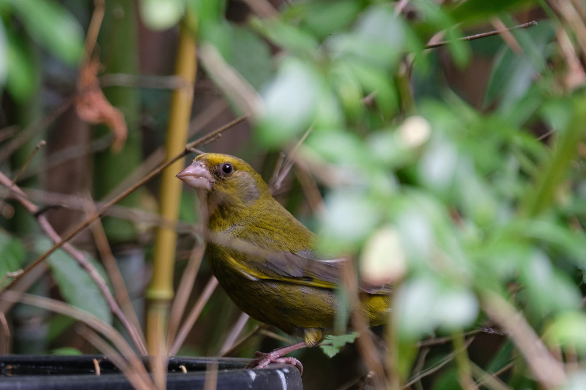 Grünfink / greenfinch