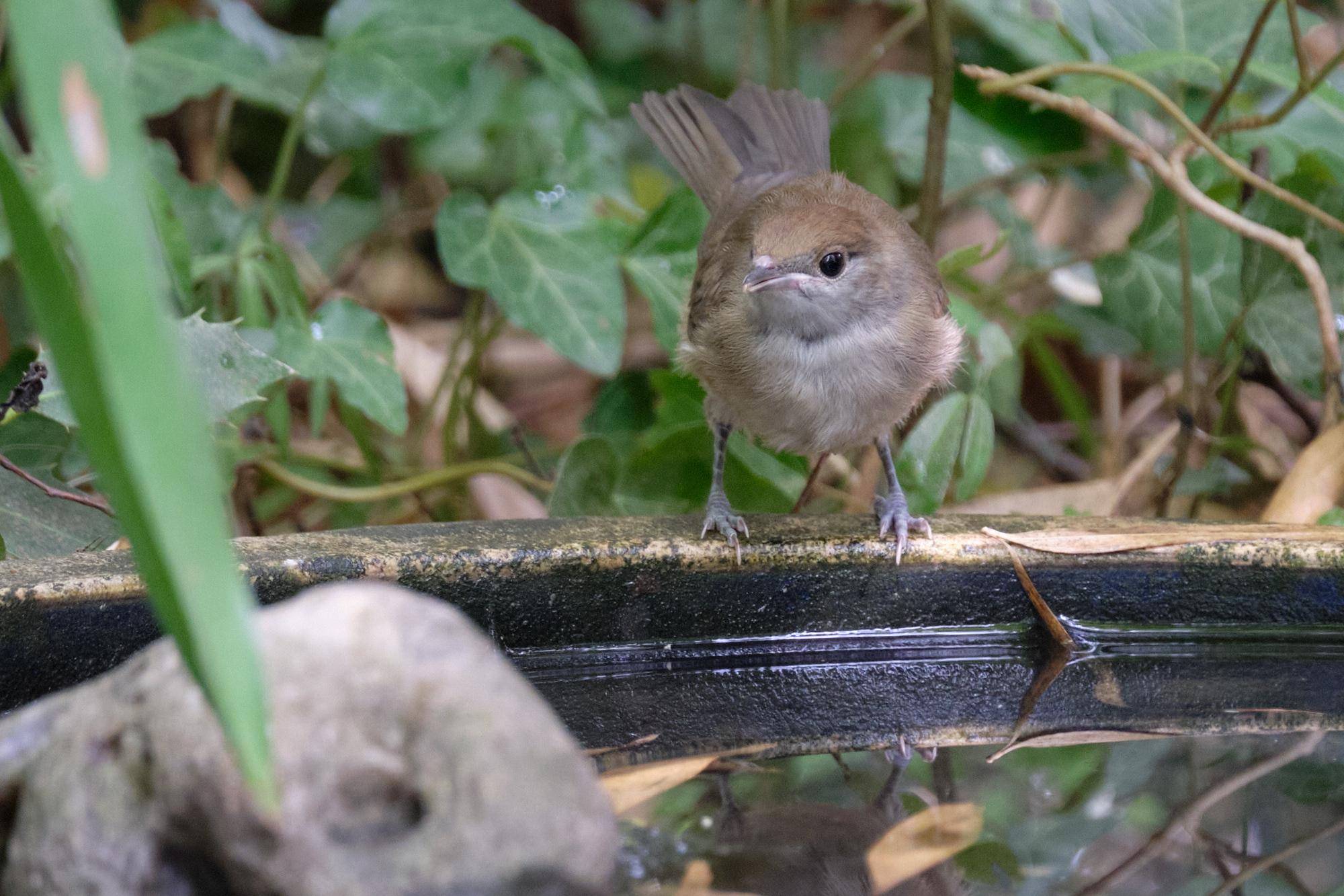 Mönchsgrasmücke / black cap