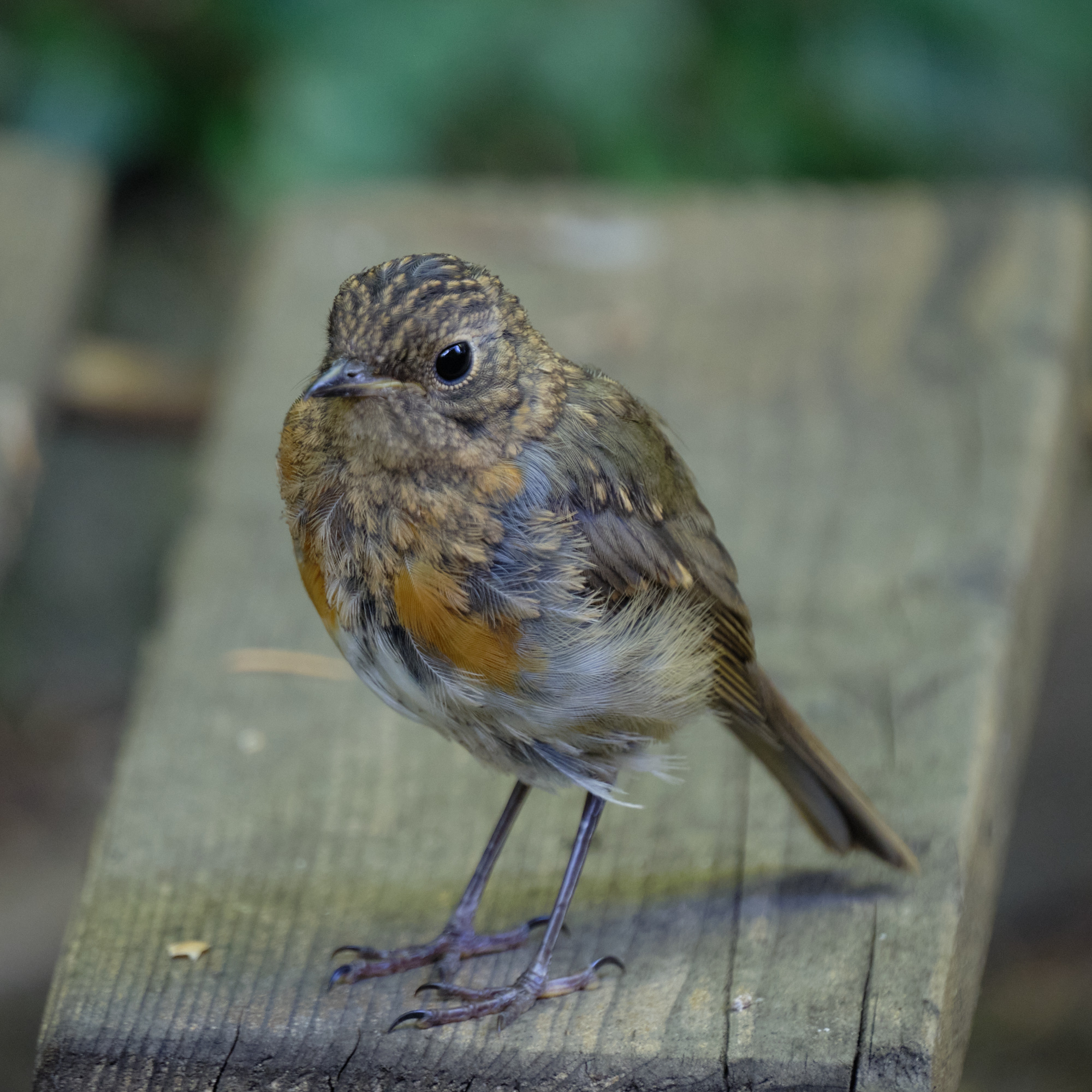 junges Rotkehlchen / young robin