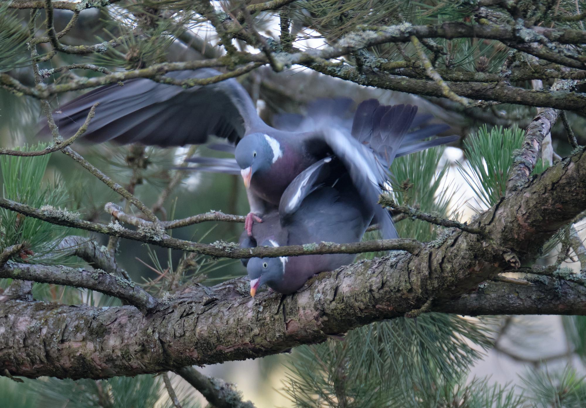Ringeltauben / wood pigeons