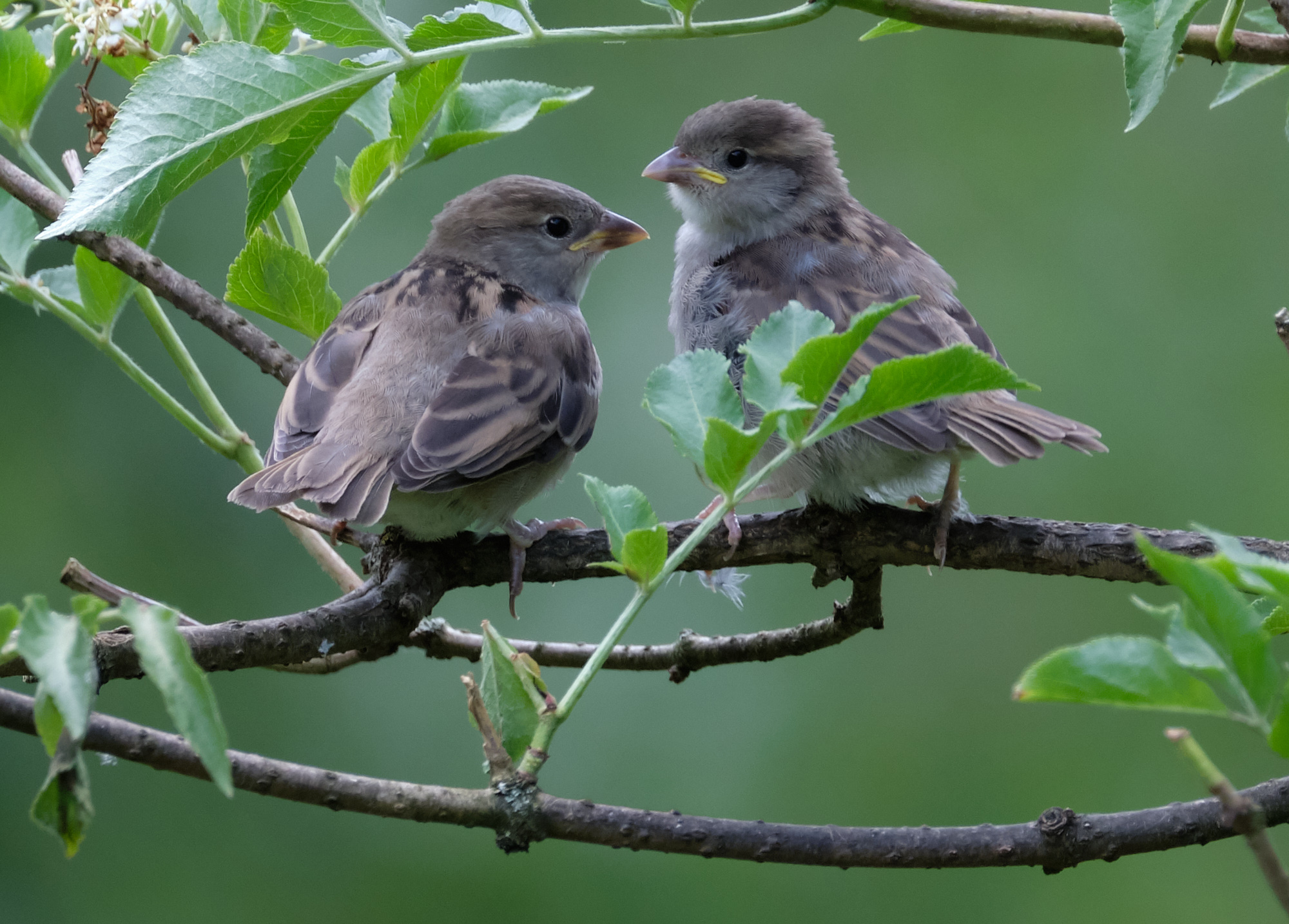 junge Haussperlinge / young house sparrows