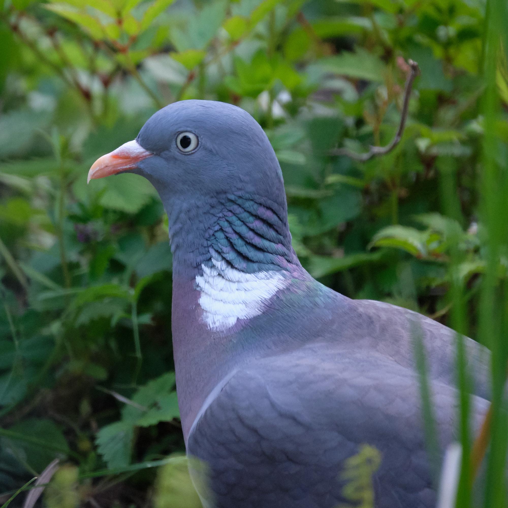 Ringeltaube / wood pigeon