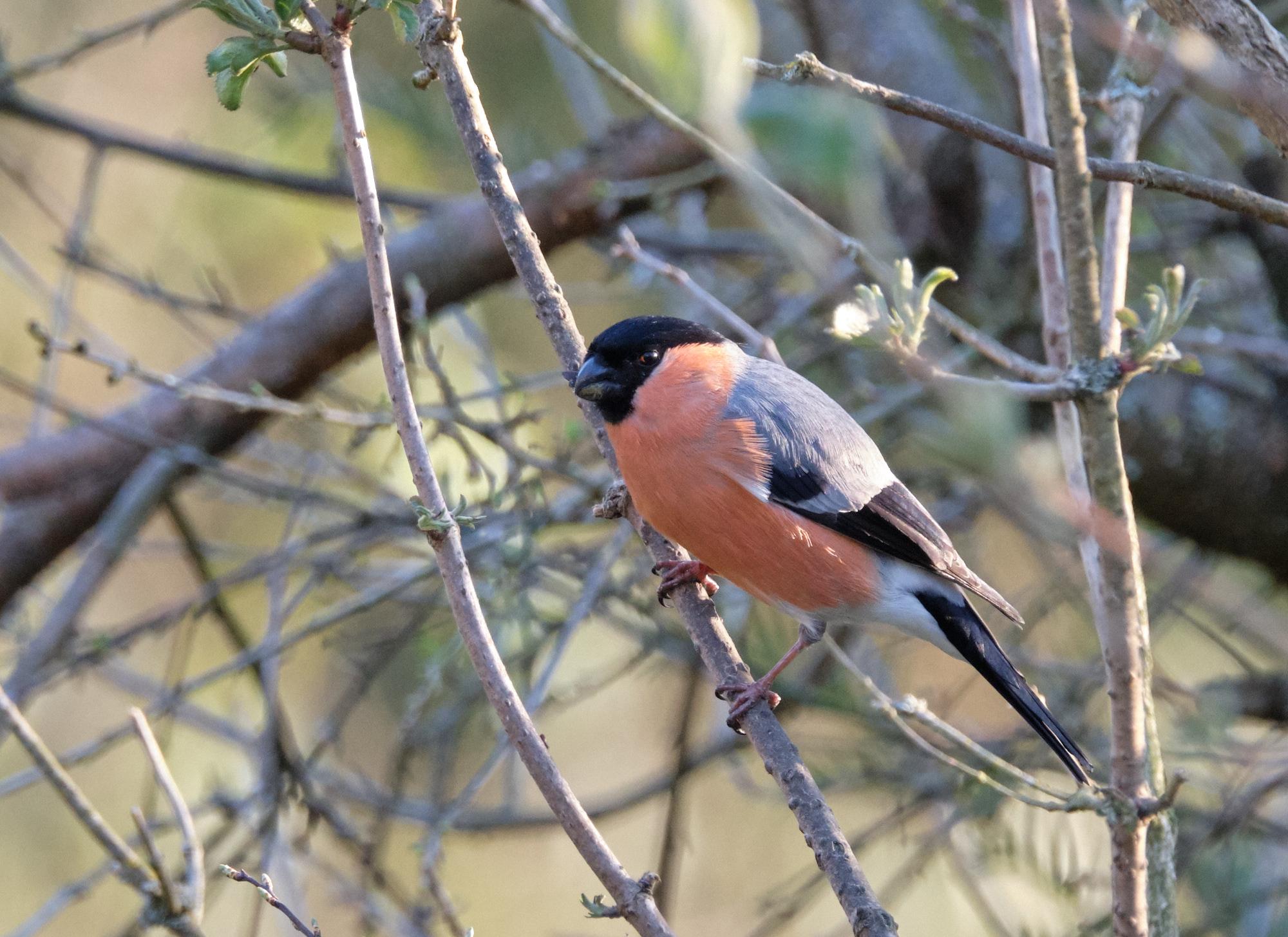 Dompfaff / bullfinch