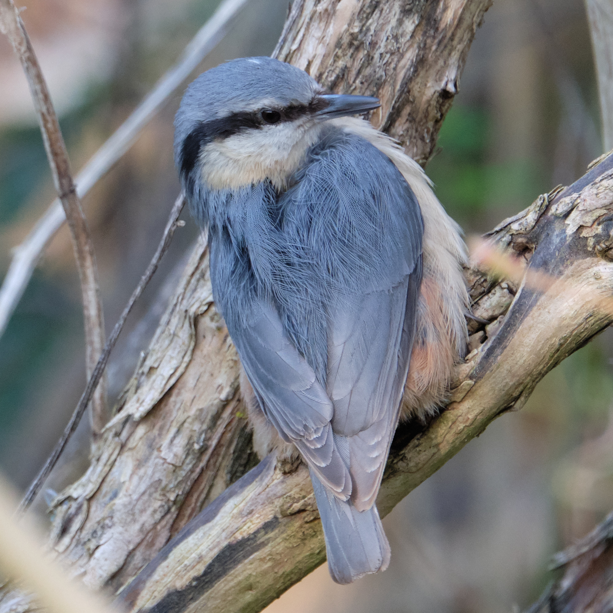 junger Kleiber / young nuthatch