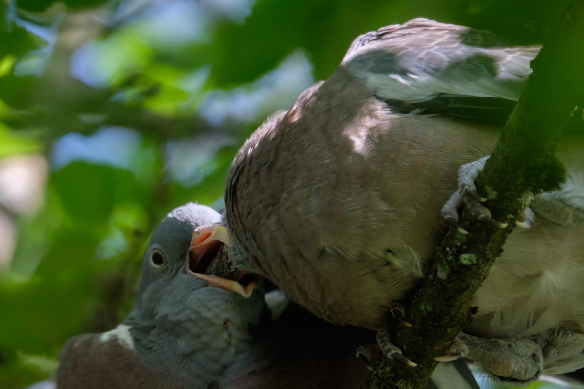 junge Ringeltauben / young wood pigeons