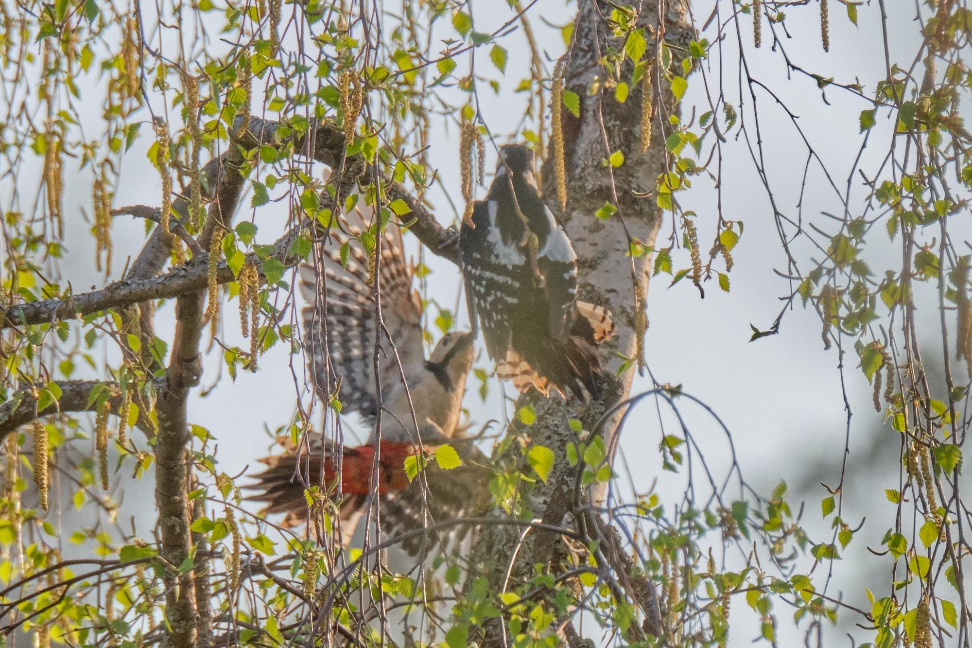 Buntspechte / great spotted woodpeckers