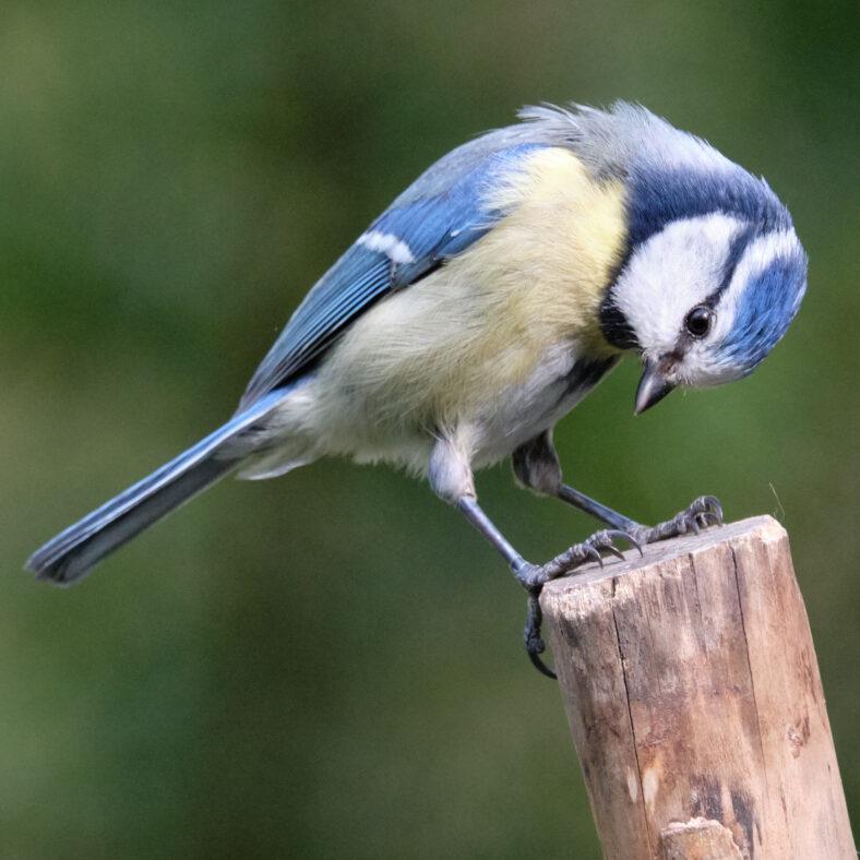 Blauzmeise / blue tit