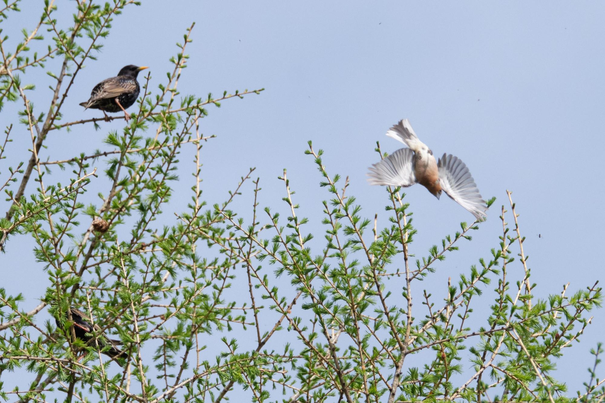 Stare und Buchfink / starlings and chaffinch