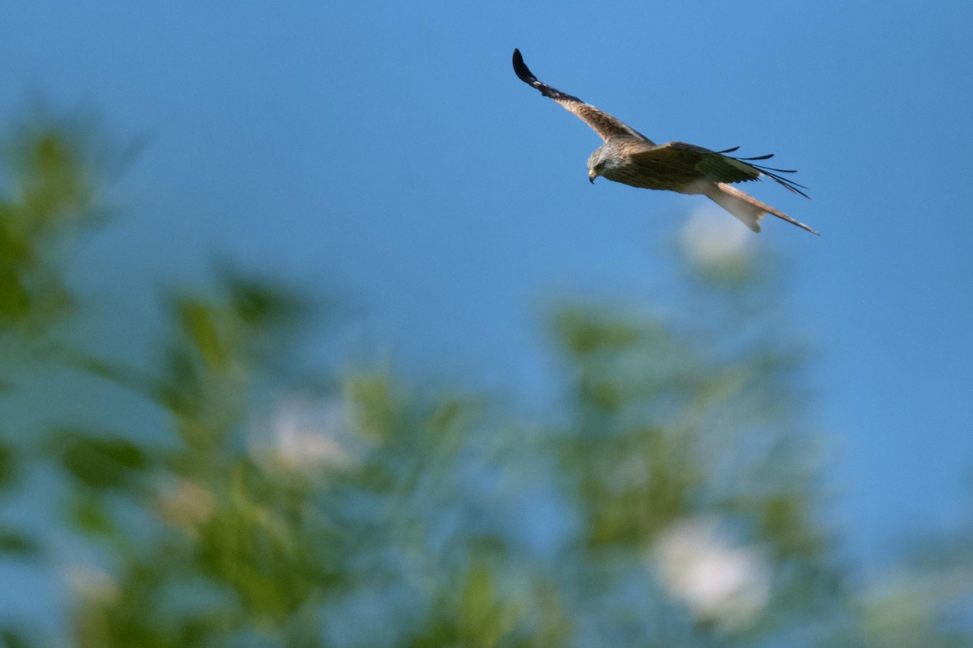 Rotmilan / red kite