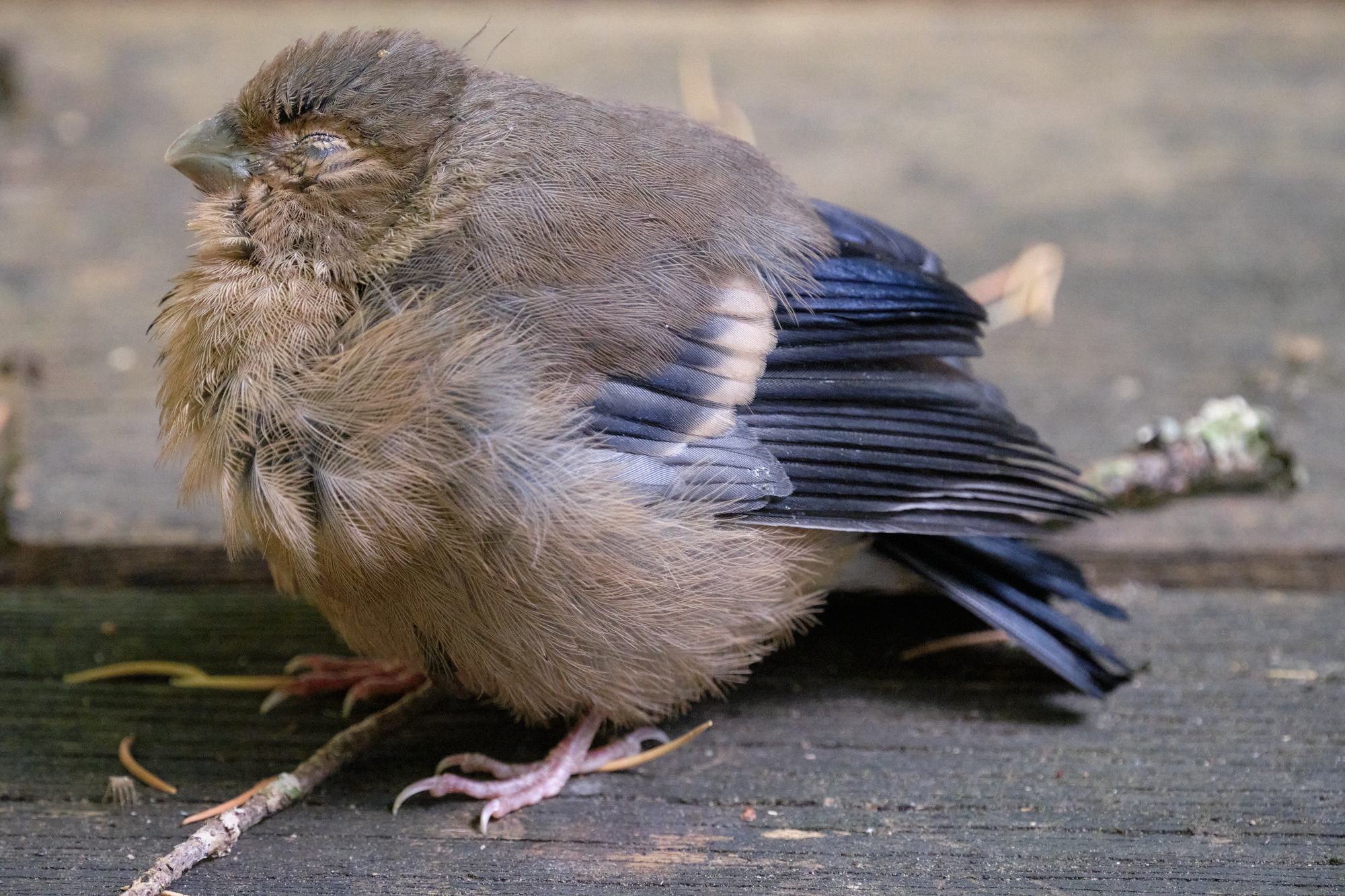 junger Dompfaff / young bullfinch
