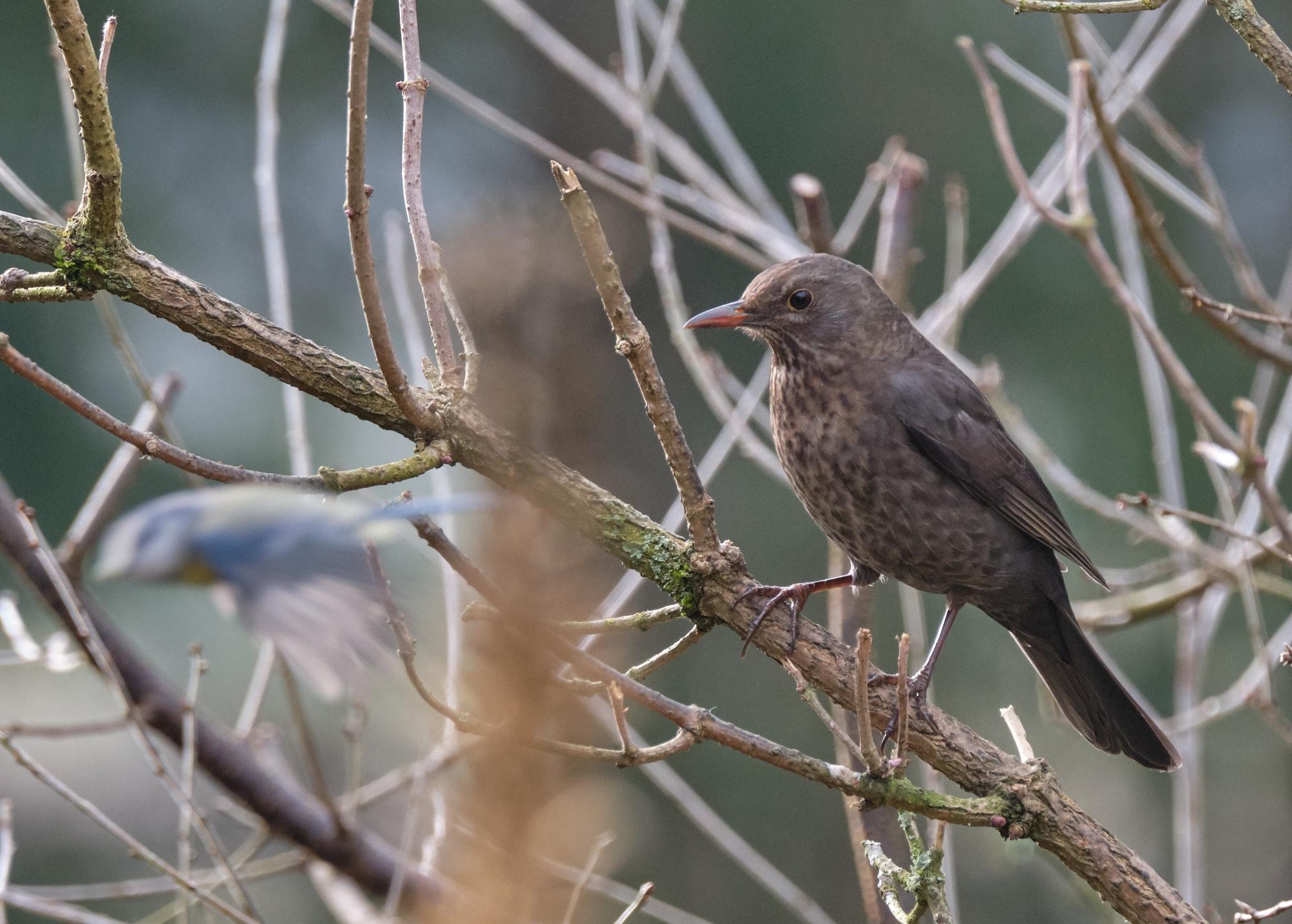 Amsel / blackbird