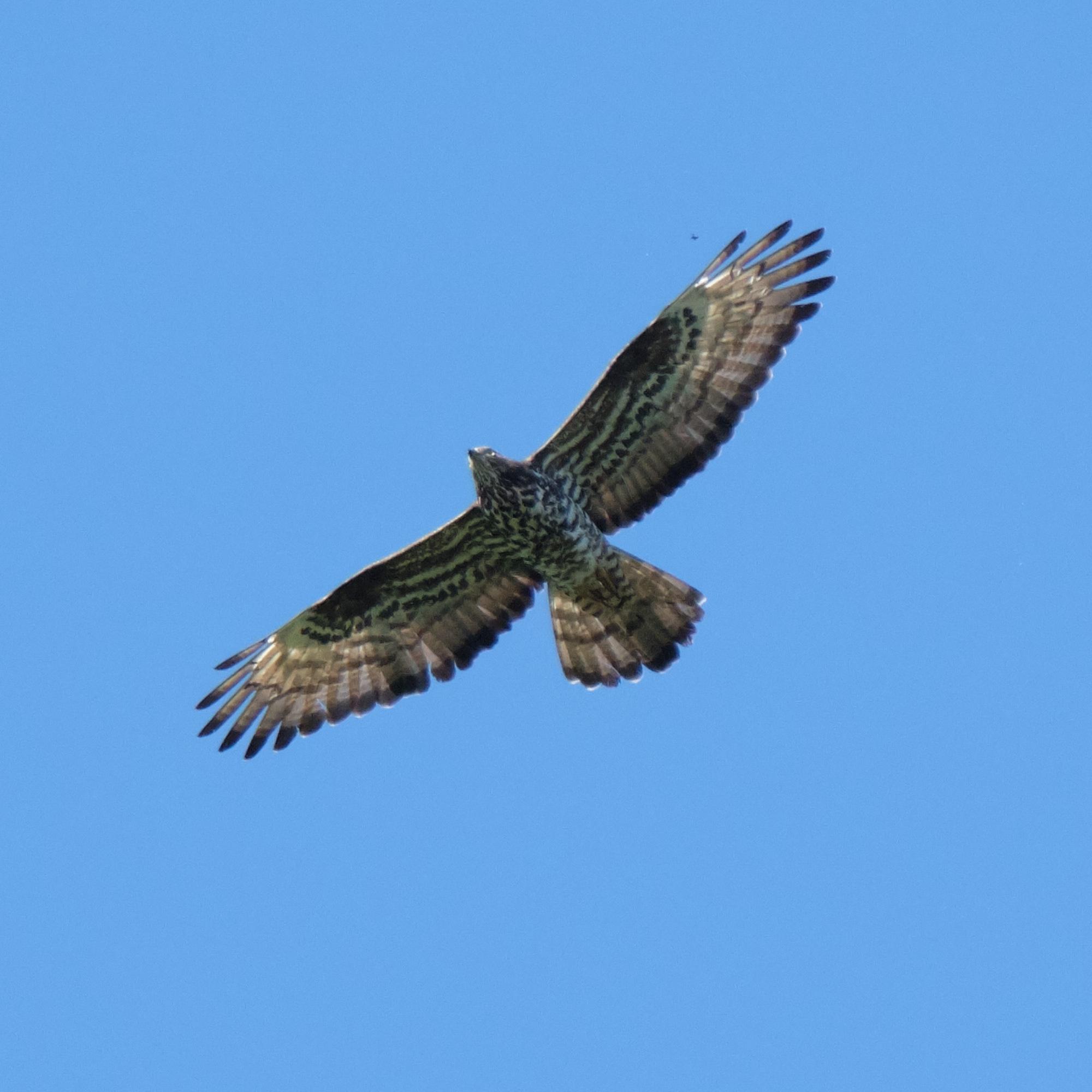 junger Mäusebussard / young buzzard