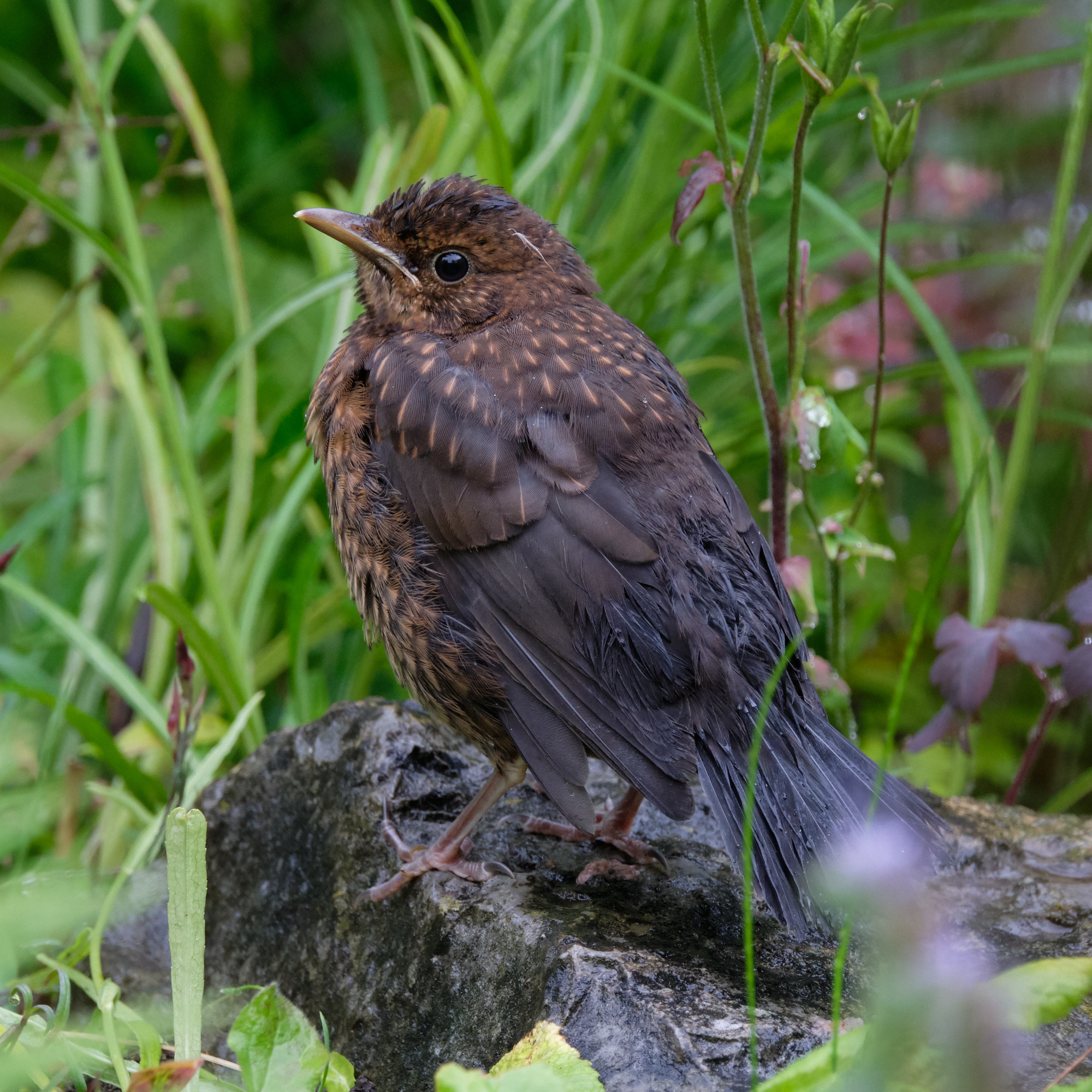 junge Amsel / young blackbird