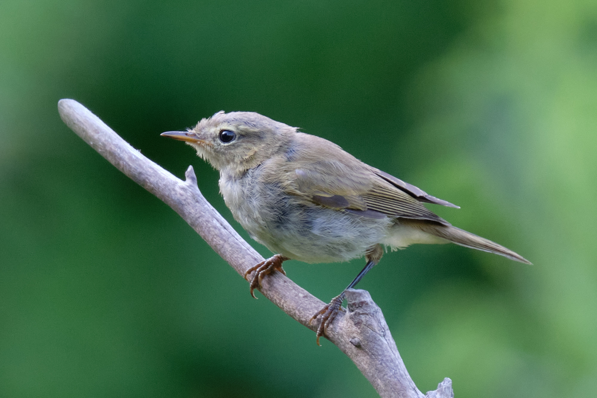 Zilpzalp oder Fitis / chiff chaff or willow warbler