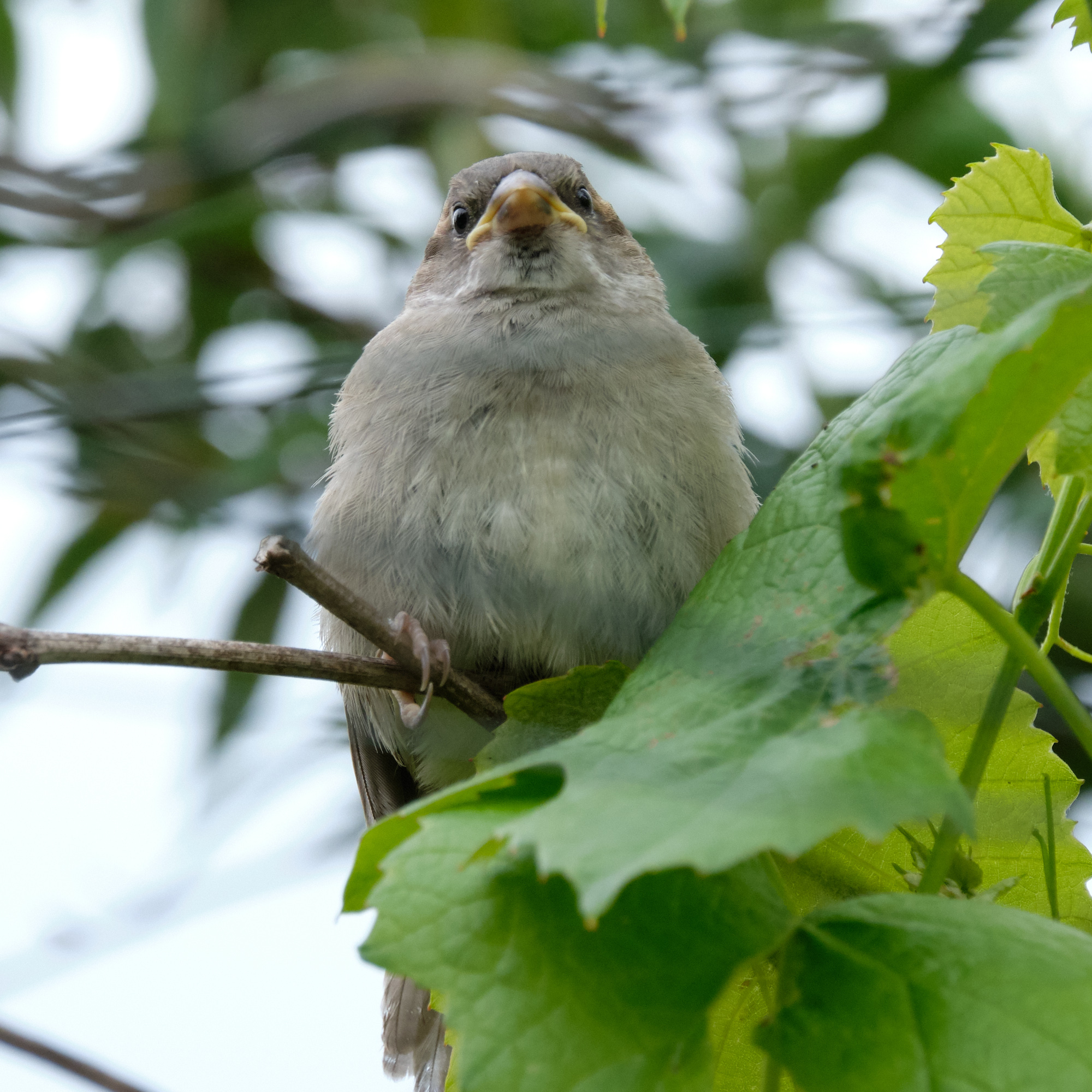 junger Haussperling / young house sparrow