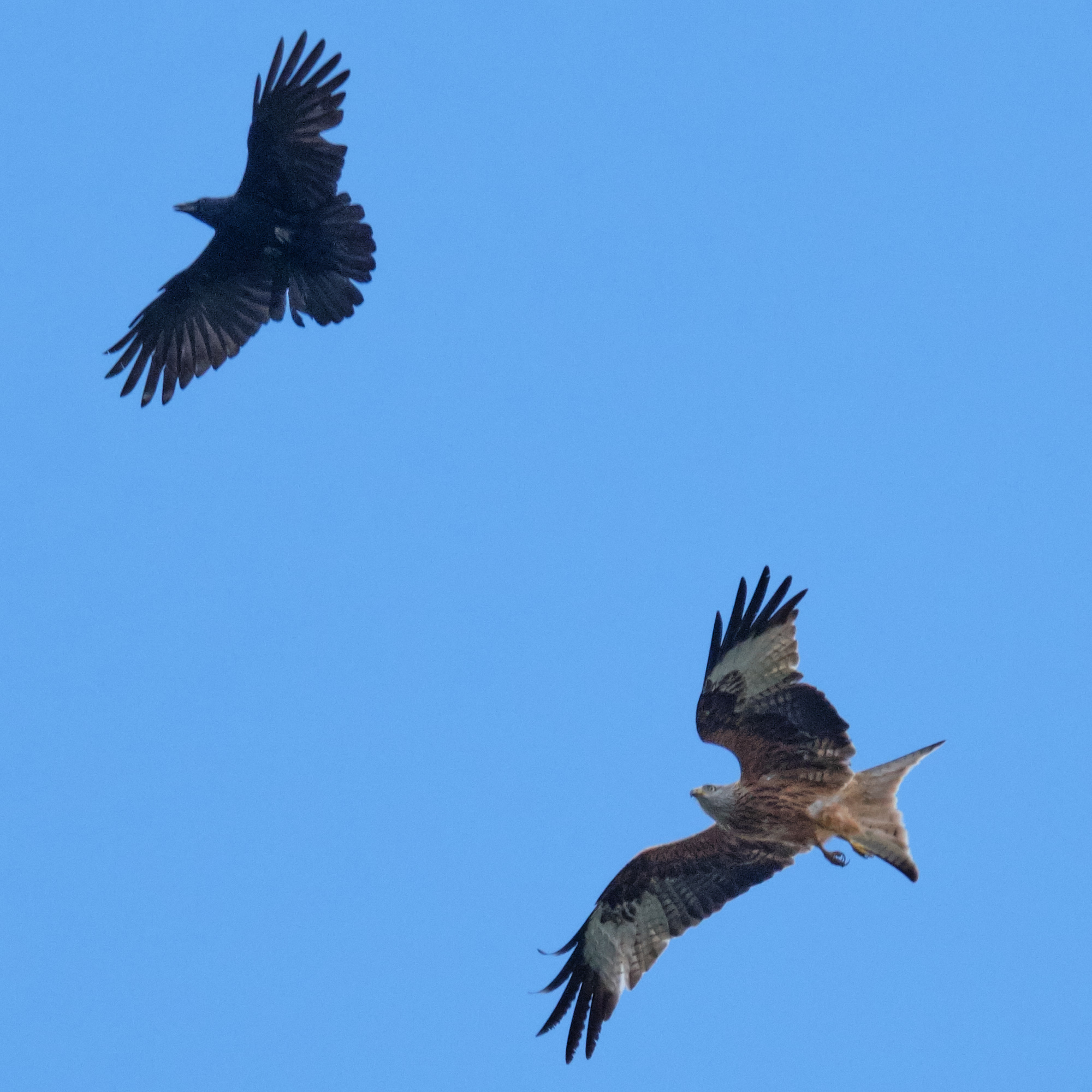 Rabenkrähe und Rotmilan / carrion crow and red kite